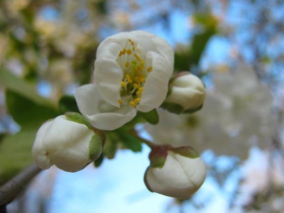 Фото. Макросъёмка. Цветок яблони